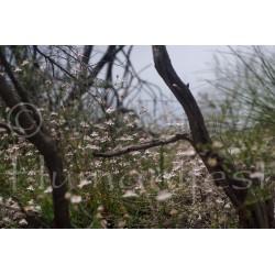 Field of Pink Flannel Flower