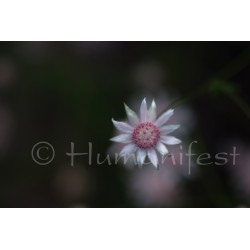 Pink Flannel Flower  image B