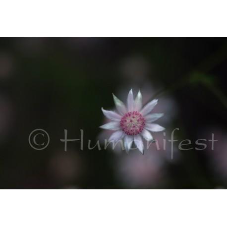 Pink Flannel Flower  image B
