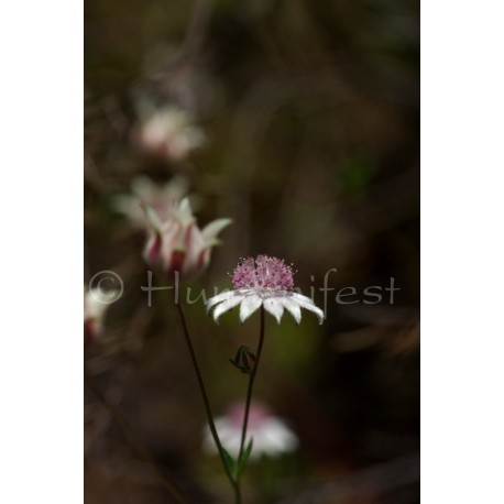 Pink Flannel Flower  image A