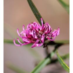 Pink Spider Flower Grevillia