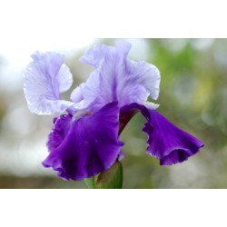 Tall Blue Bearded Iris