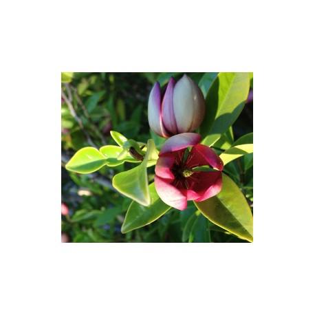 Port Wine Magnolia